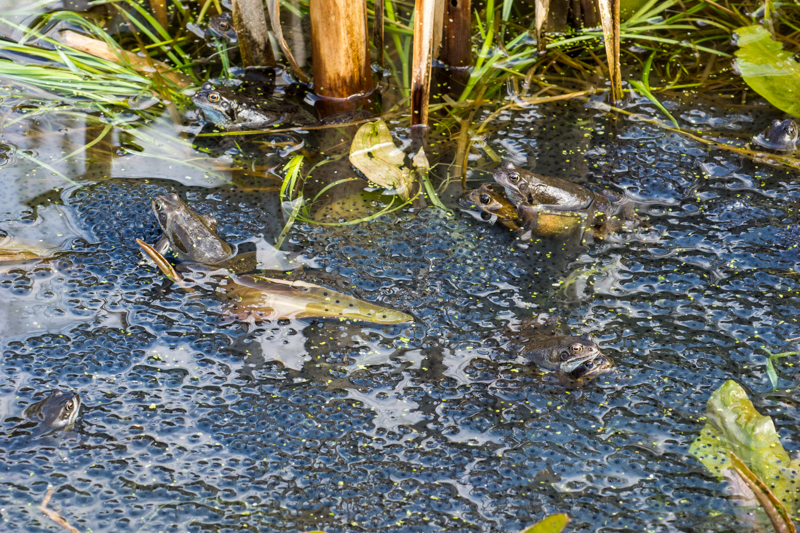 Two mating pairs plus three other frogs