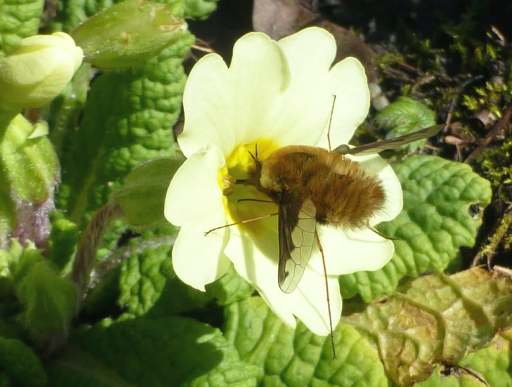 Bee fly Ashlawn