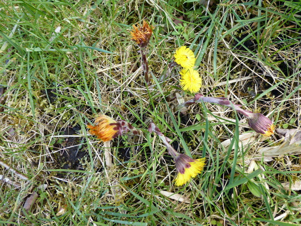 Coltsfoot Ashlawn