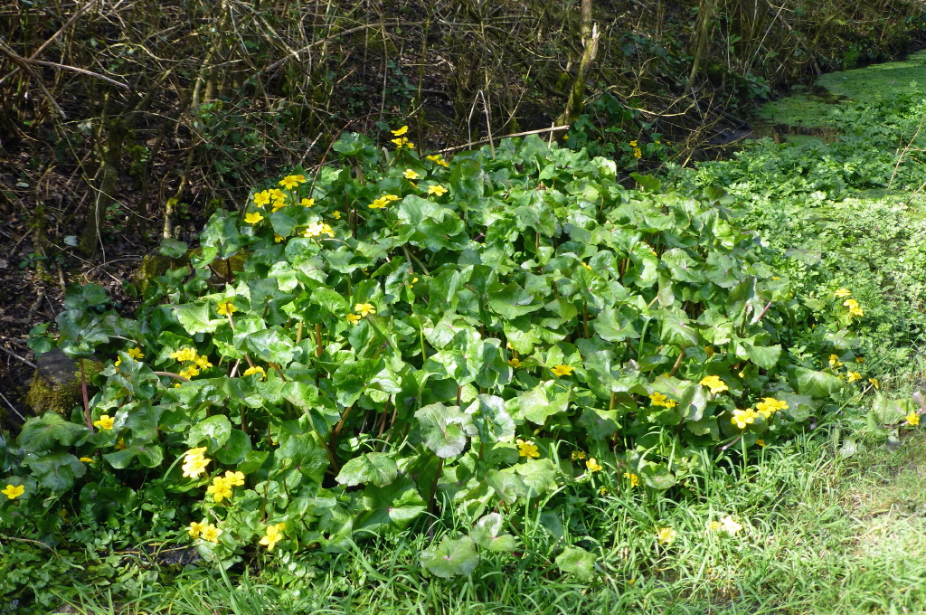 Marsh Marigold Ashlawn
