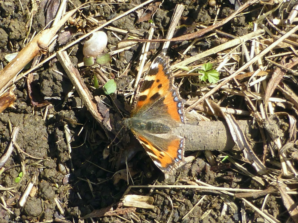Small Tortoiseshell Ashlawn