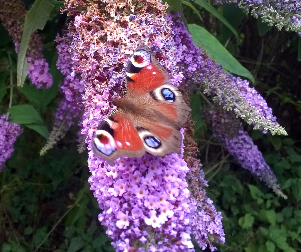 Section F2w Buddleia glade, Peacock, by S Wright 30-7-16