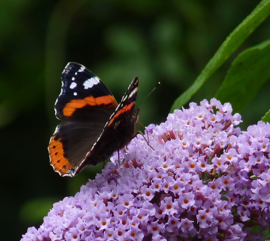 Section F2w Buddleia glade, Red Admiral, 25-7-16 by P Parr
