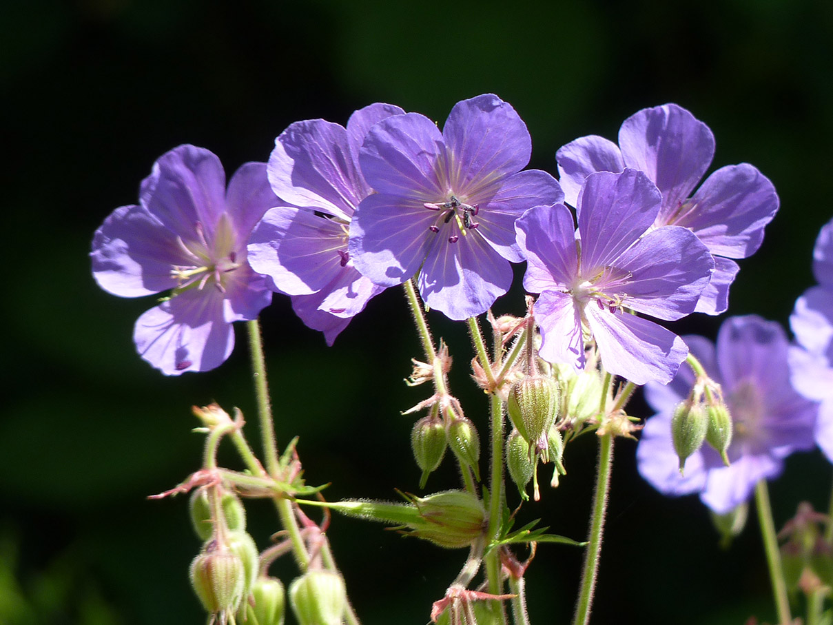 Section F2w, Meadow Cranesbill. 17-7-16 by P Parr