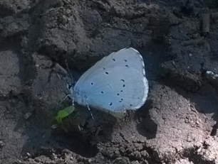 Holly Blue 18-7-16 by S. Wright