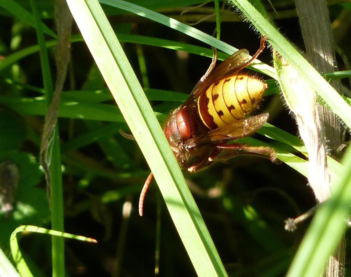 Ashlawn-f5w-hornet-30-8-16-p-parr