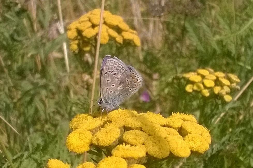 Ashlawn-d14e-tennis-meadow-c-blue-on-tansy-30-8-16-p-parr