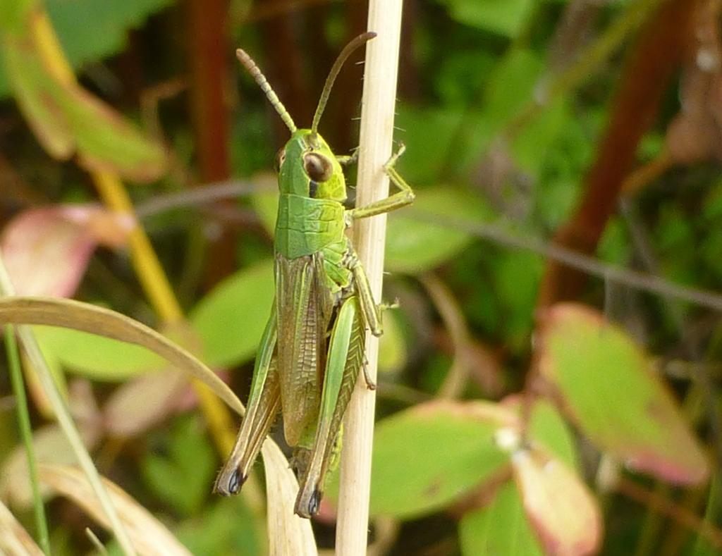 Ashlawn-f-grasshopper-s-batt-18-8-16