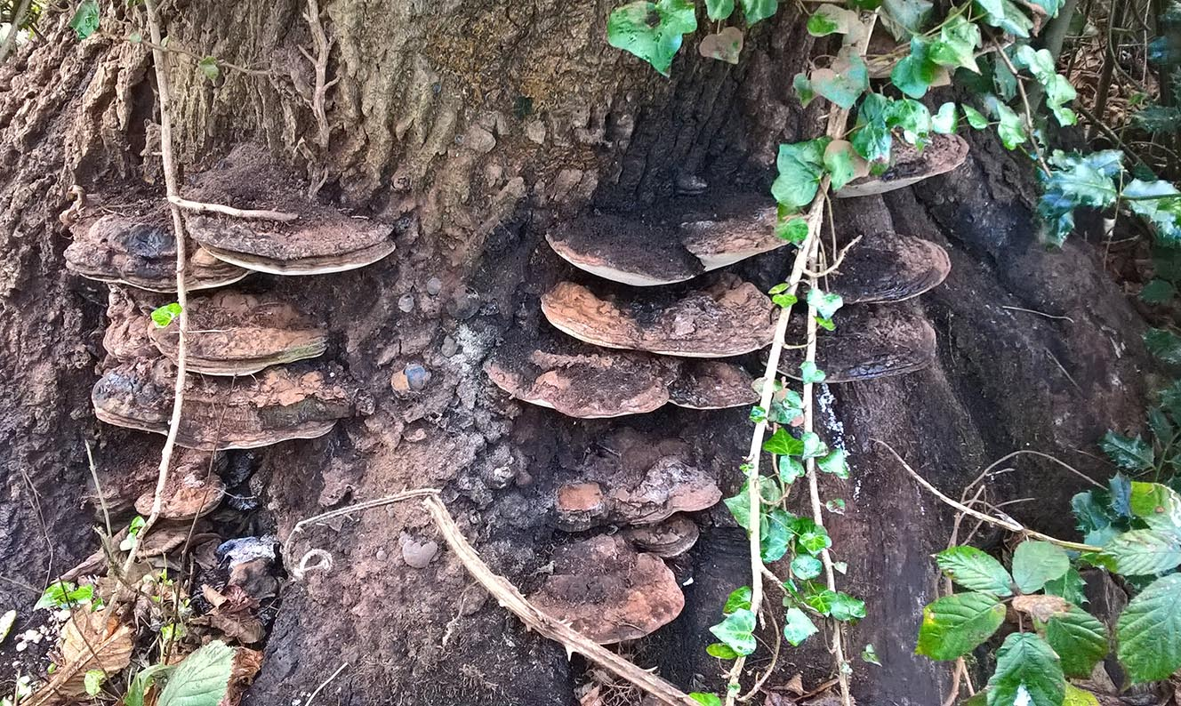 Ashln E7e Artists fungus or polypore Phellinis agniarus 8-12-16 Sw(2)