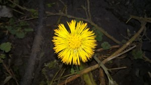 200217 Coltsfoot Tussilago farfara. sec.10E Ashlawn (2)