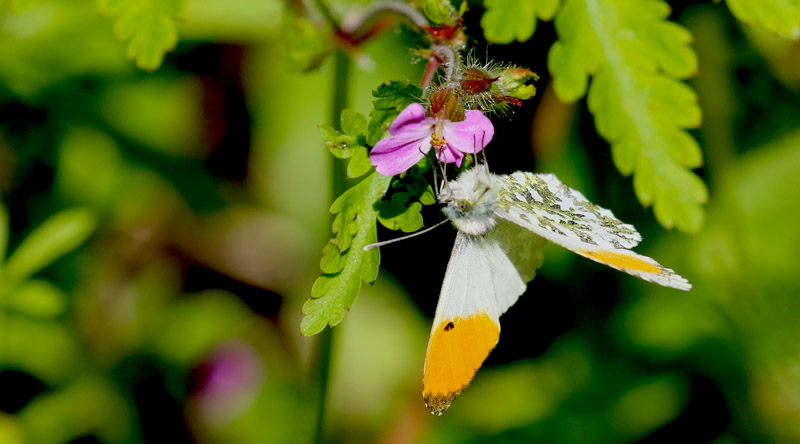 Orange Tip male Ashlawn