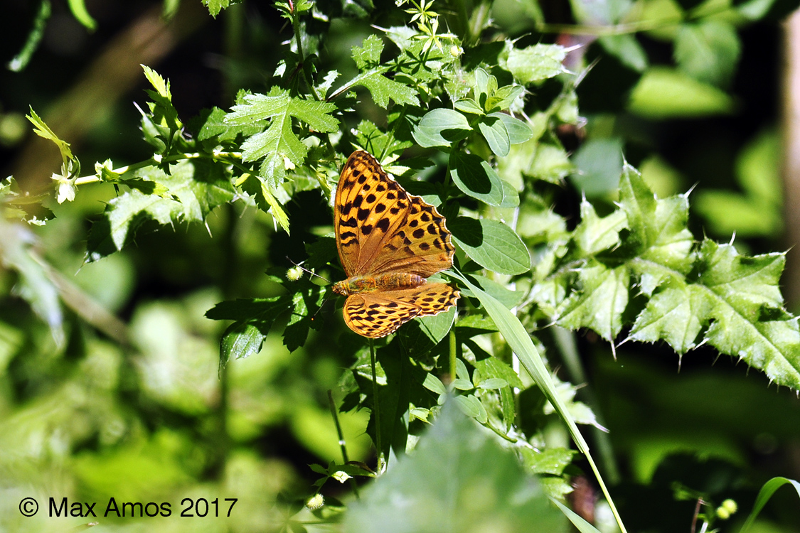 2017-07-03-Silverwashed_Fritillary_female