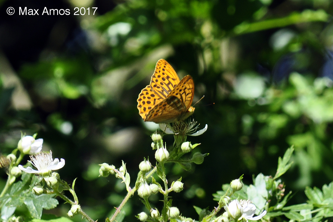 2017-07-03-Silverwashed_Fritillary_male