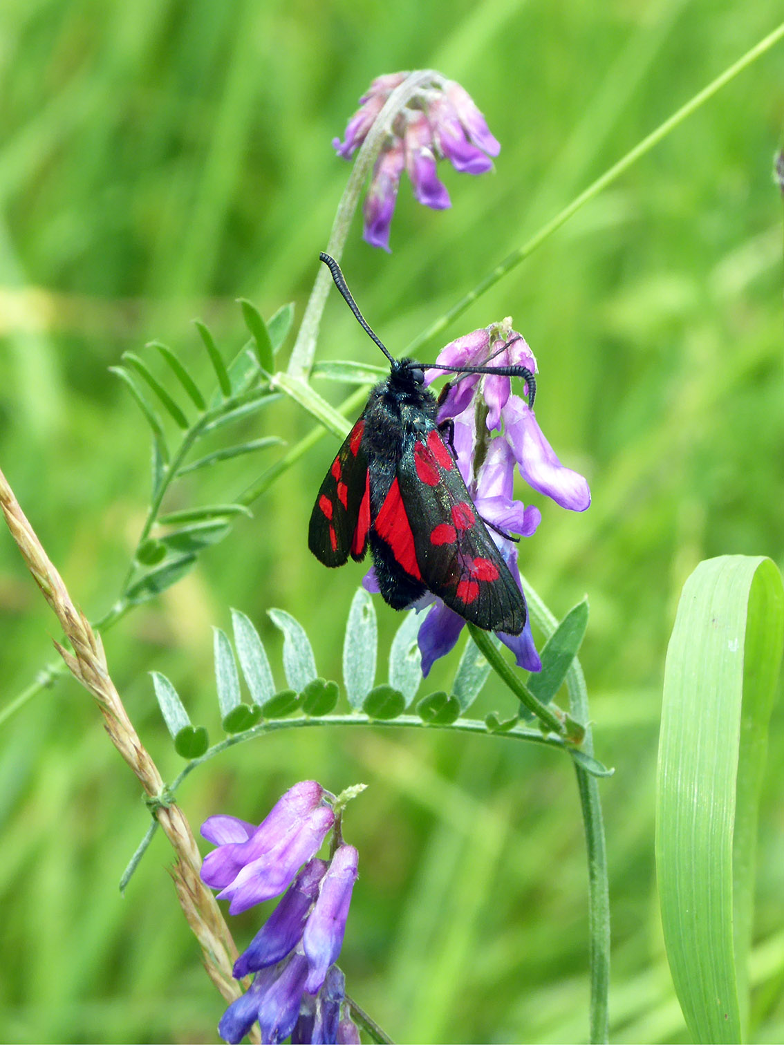 Ashln D14w Six-spot Burnet, 5-7-17 PP0306