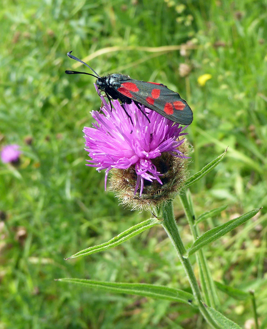 Ashln F3e Six-spot Burnet 8-7-17 PP0351