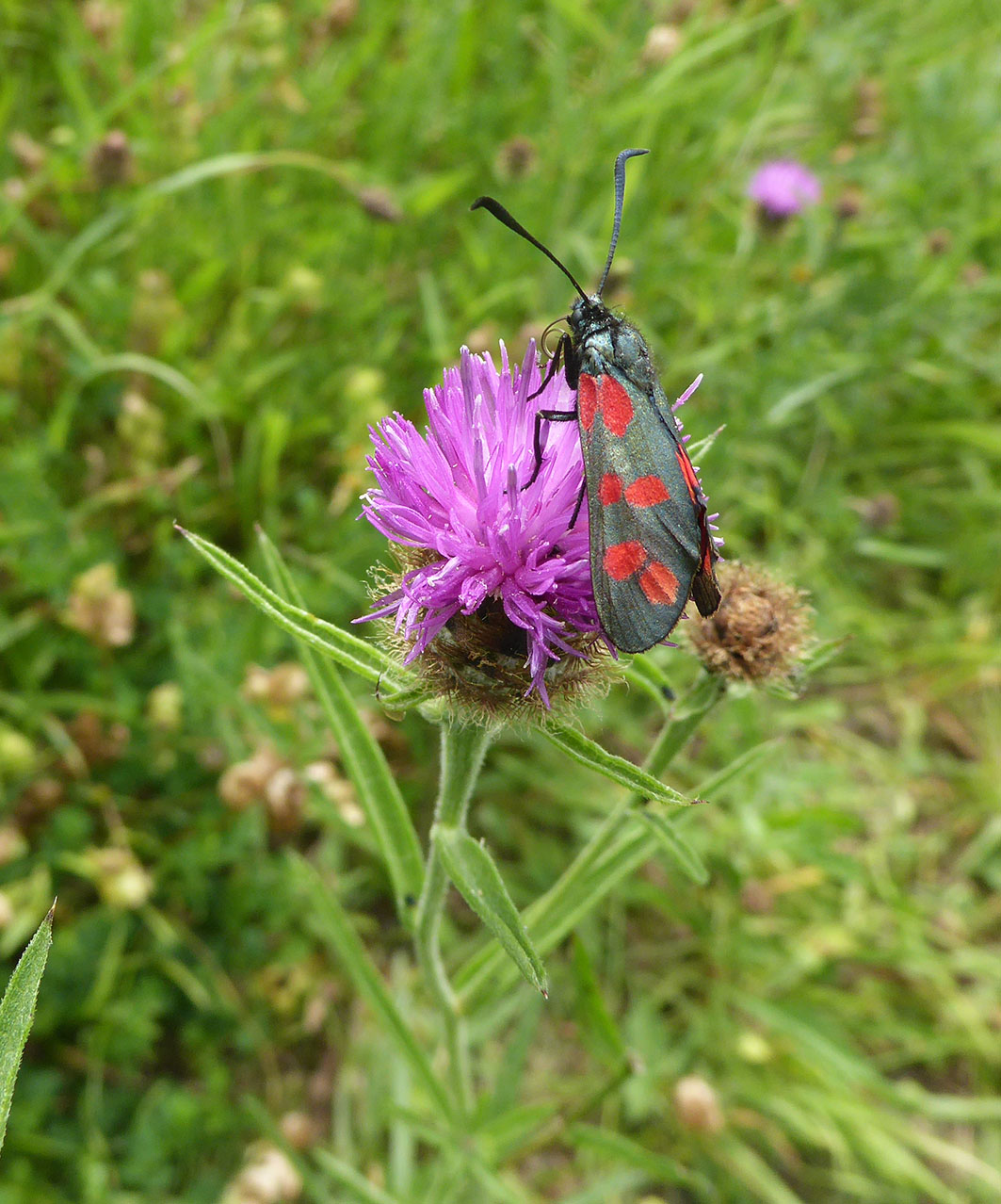 Ashln F3e Six-spot Burnet 8-7-17 PP0353