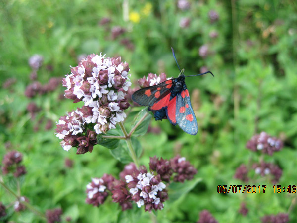 Ashln F3w Narrow-bordered Five-spot Burnet Moth on Marjoram 5-7-17 SW