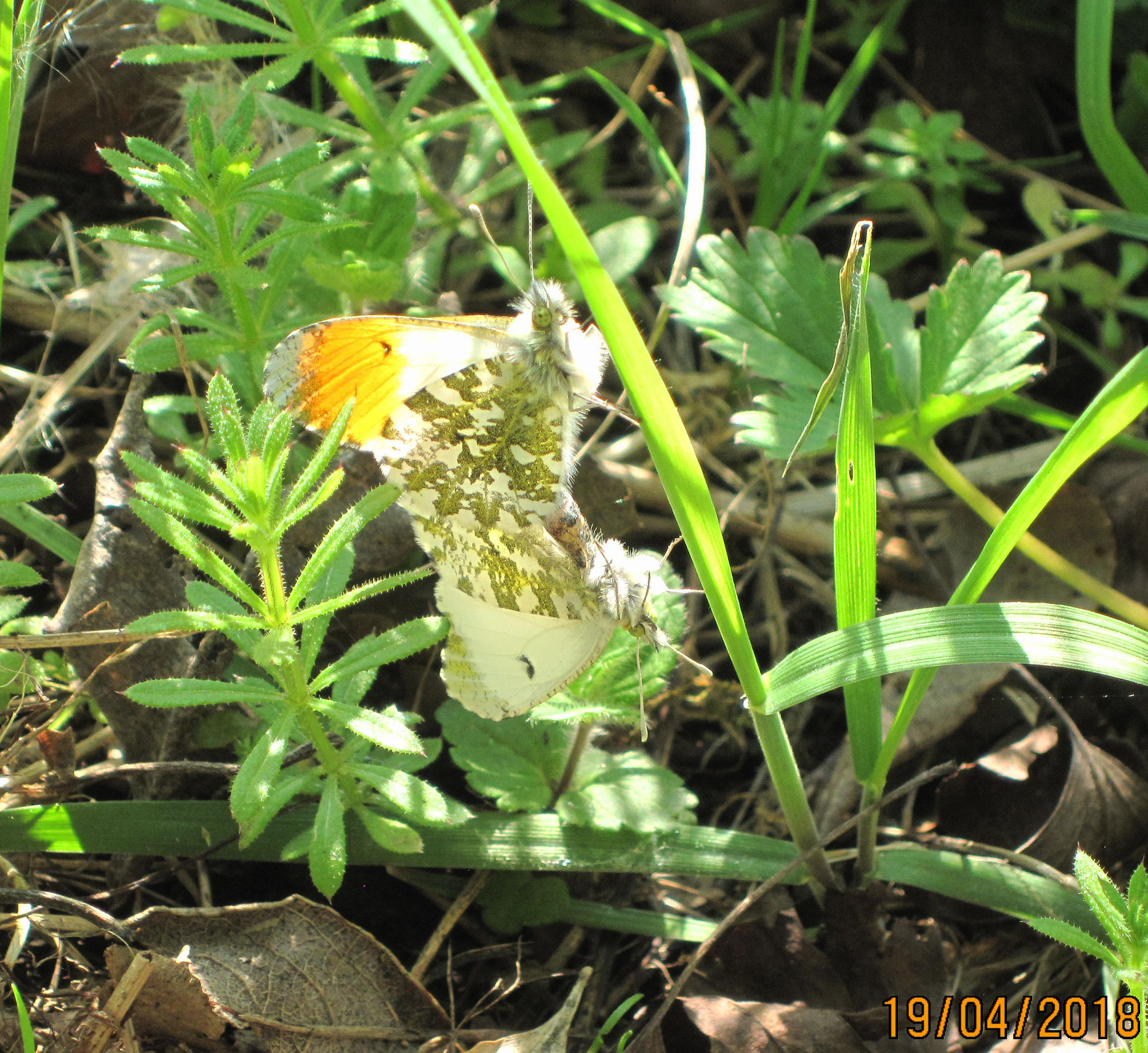 Orange Tip Butterfly (2)
